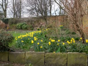 Daffodils in Walled Garden